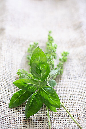 Fresh basil on tablecloth