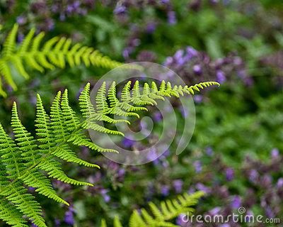 A Fresh beautiful green fern