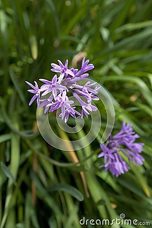 Fresh blooming society garlic