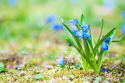 Fresh blue spring flowers