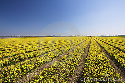 A fresh and bright yellow field of spring flowers