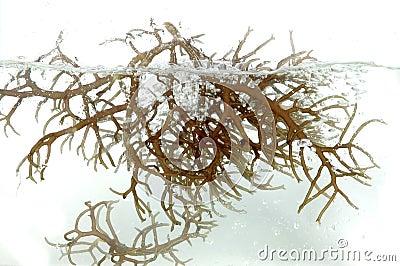 Fresh brown seaweed in the water