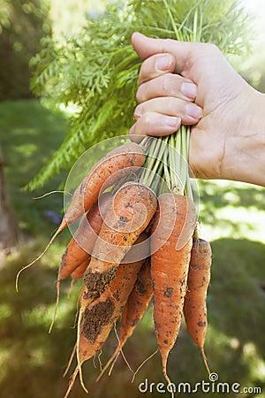 Fresh carrots from garden
