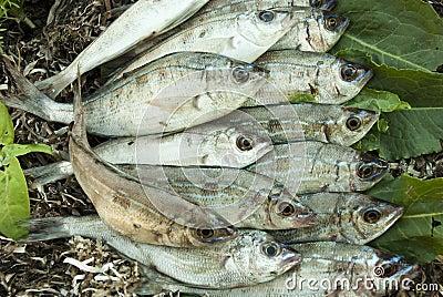 Fresh catch of fish