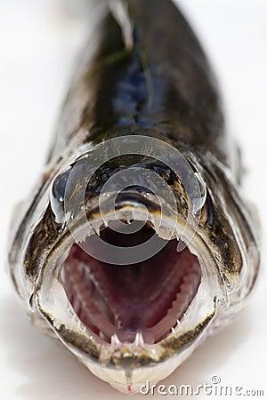 Fresh Caught Walleye