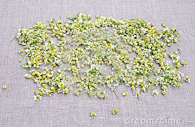 Fresh chamomile blossoms on linen cloth background