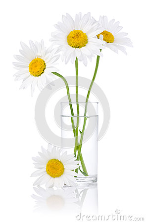 Fresh chamomile flowers in a glass of water