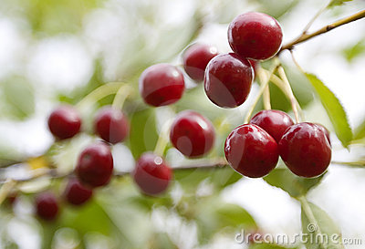 Fresh cherries fruit