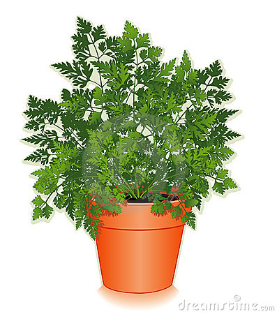 Fresh Chervil Herb in a Flower Pot