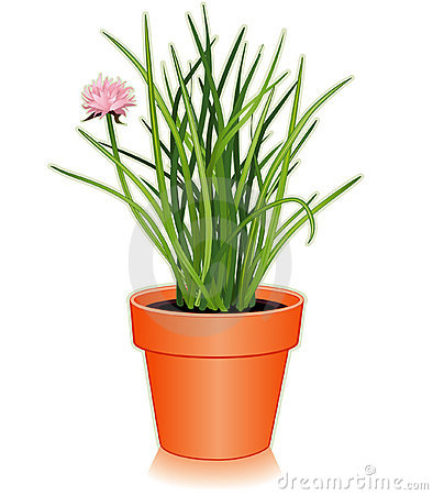 Fresh Chives Herb in a Flowerpot