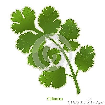 Free Fresh Cilantro Herb Stock Photography - 12232792