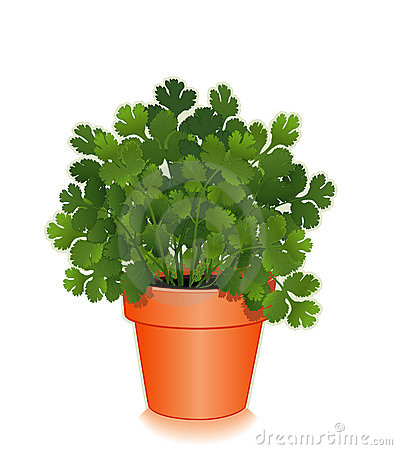 Fresh Cilantro Herb in a Flower Pot