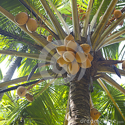 Fresh coconuts on palm