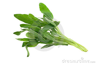 Fresh common sage herb