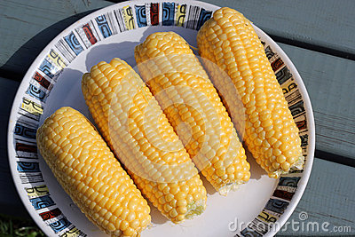 Fresh yellow corn cobs ready to cook.