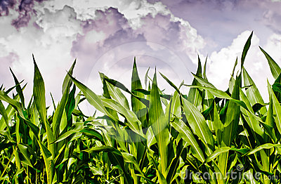 Fresh corn field under stormy sky