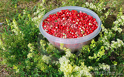 Fresh Cranberries Royalty Free Stock Images - Image: 12923159