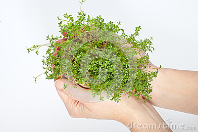 Fresh cress in the hand