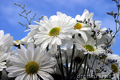 Fresh cut daisies (Asteraceae) with a blue sky