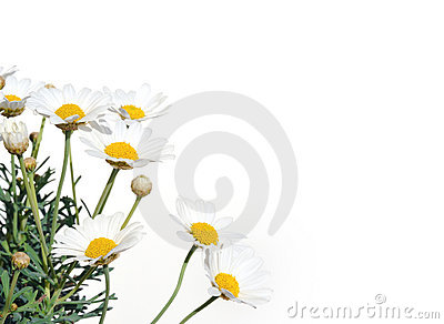 Fresh Daisies isolated on white