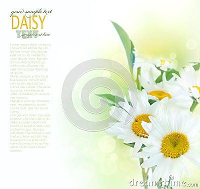 Free Fresh Daisy Background Royalty Free Stock Photos - 20595148