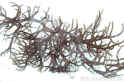 Fresh dark brown seaweed