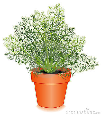 Fresh Dill Herb in a Flower Pot