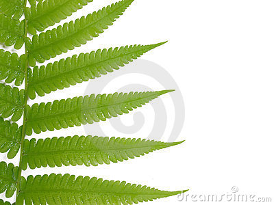 fresh fern leaf