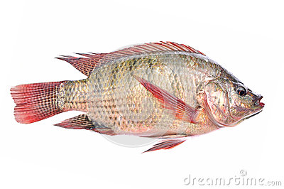 Fresh fish isolated