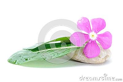 Fresh Flower on Zen Stone, Spa Concept, White Background