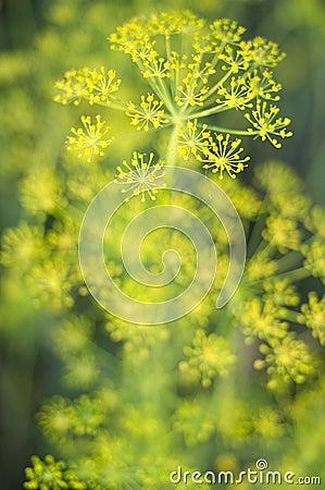 Fresh fragrant fennel