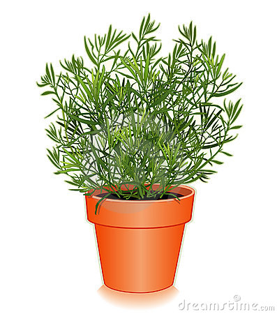 Fresh French Tarragon in a Flower Pot