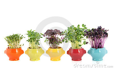 Fresh garden cress in colorful crockery