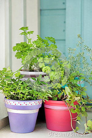 Fresh garden herbs in pots