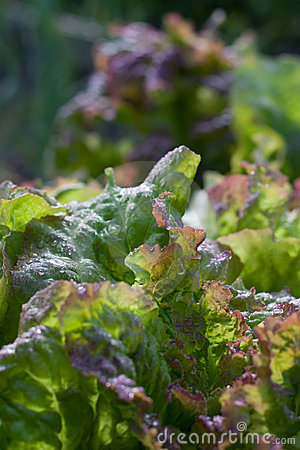 Free Fresh Garden Lettuce Royalty Free Stock Photography - 20656657