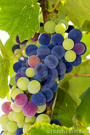 Fresh grapes as background
