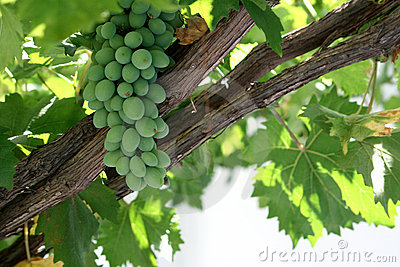 Fresh grapes on a grapevine