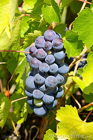 Fresh grapes in the wineyard