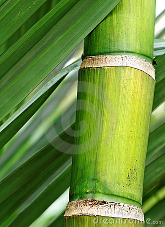 Fresh green bamboo