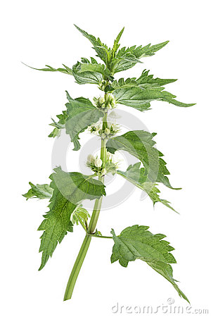 Free Fresh Green Blossoming Nettle Isolated Royalty Free Stock Images - 78368759