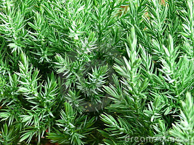 Fresh green branch of pine tree