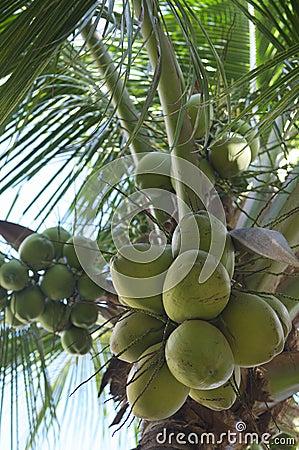 Fresh Green Coconut Palm Tree Close-Up
