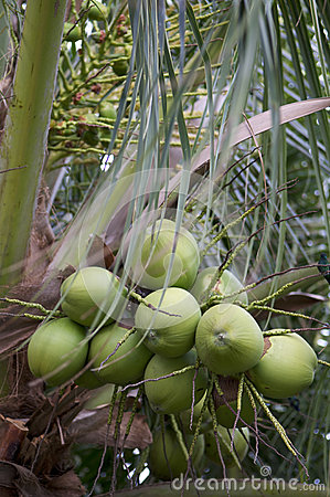 Fresh Green Coconut Palm Tree Close-Up