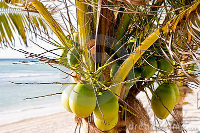 Fresh Green Coconuts in a Palm Tree on the Beach
