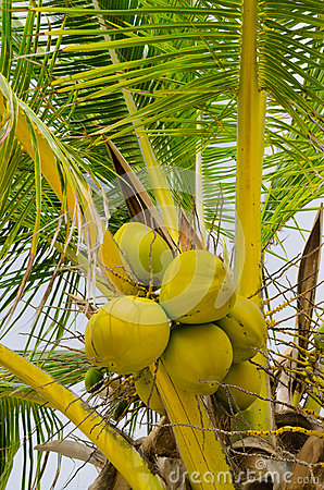Fresh green coconuts on the tree