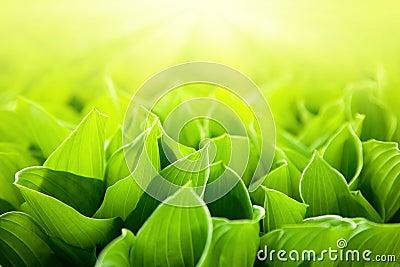 Fresh green flower leaves
