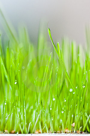 Fresh green grass and dew