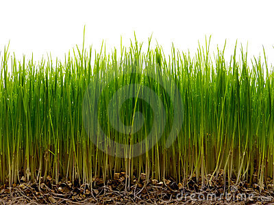 Fresh green grass with root and dew