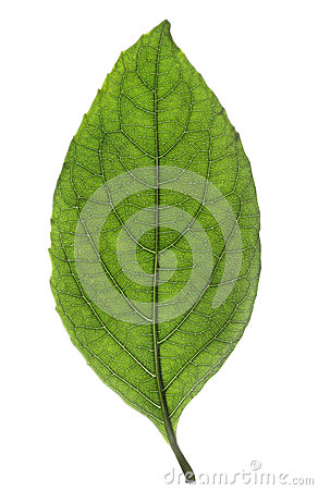 Free Fresh Green Leaf Isolated Stock Photo - 41098390