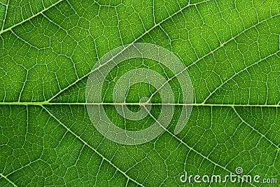 Fresh Green Leaf Texture Closeup